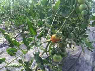 トマト成熟1.jpg