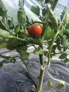 トマト成熟2.jpg