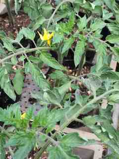 トマト開花1.jpg